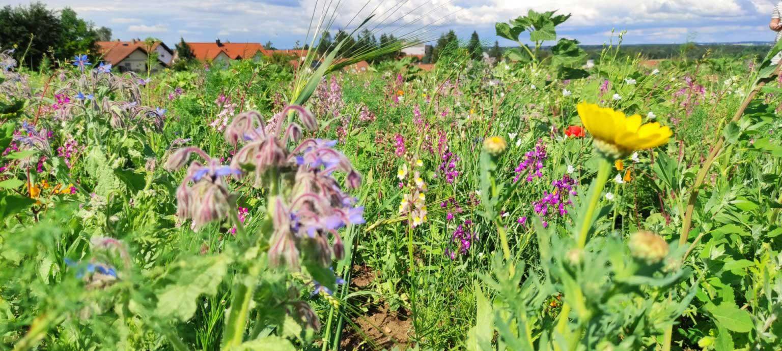 Blumenwiese in Markt Schwaben, Wittach – Wittelsbacher Höhe